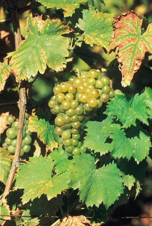 Muscat - Vin blanc d'Alsace