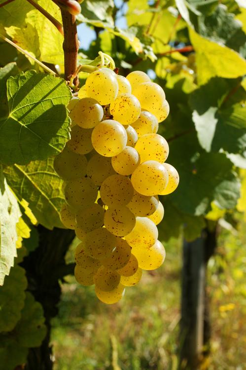 Sylvaner - Vin blanc d'Alsace